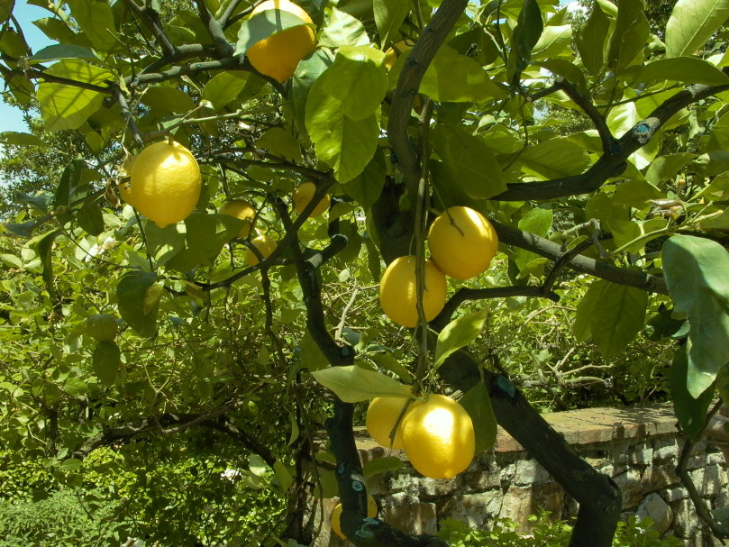 lemon-tree-1327476