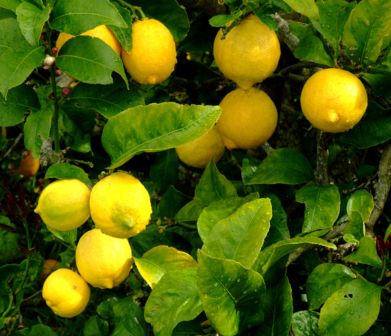 lemons-1182343