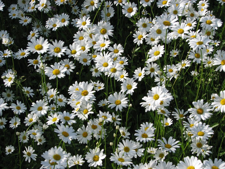daisys-1392171